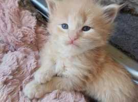 pedigree maincoon kittens for sale