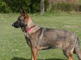 2 year old female German Shepherd