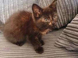 10 weeks old female kitten