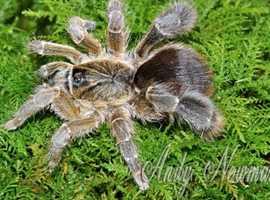 Stout Legged Baboon Spider