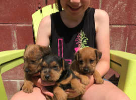 Lakeland Terrier Pups