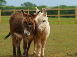 Two adorable donkeys