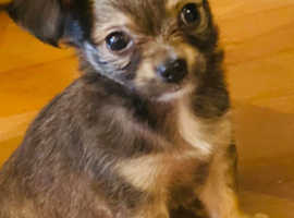 chihuahua boy puppies for sale