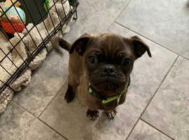 Pug boy 5 months old