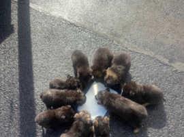 German Shepherd puppies 6 boys 4 girls 8 weeks old