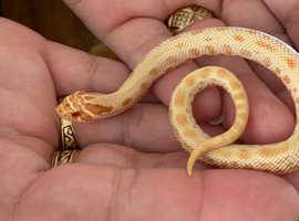 2019 male albino conda hognose