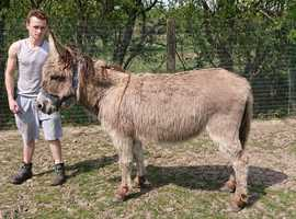 Donkey Sale For Mare