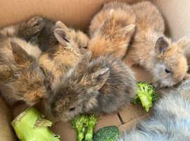 Lion head baby rabbits