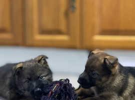 Kc reg German Sheperd puppies