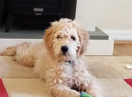 Beautiful Goldendoodle Girl 5Mnths Apricot