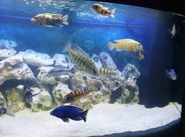 Fish tank including 20 Malawi