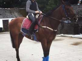 15hh 8year old bay gelding