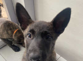 Belgian X Dutch Shepherd