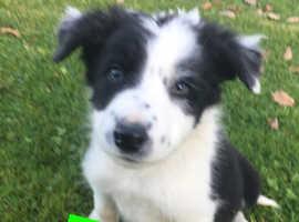 1 boy Border collie puppy