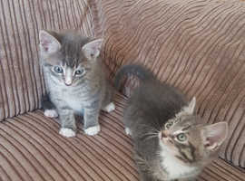 2 x Grey Tabby Kittens For Sale