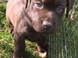 Looking to buy or adopt a Labrador Retriever ?