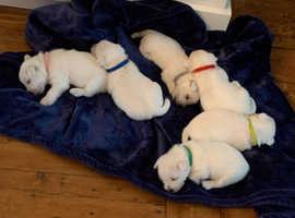 Outstanding bloodline puppies looking for home