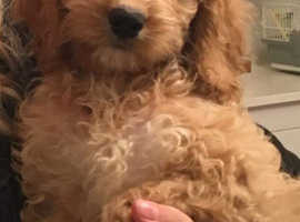 Cockapoo female puppy for sale Wakefield