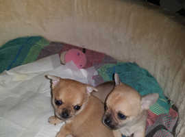 Chihuahua Apple head pups for sale