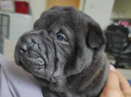 Stunning Shar Pei puppies