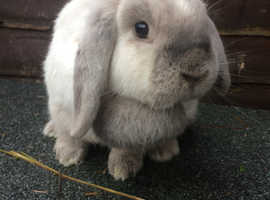 Gorgeous mini lop doe