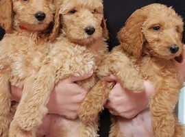 stunning goldendoodle puppies