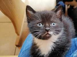 Lovely Male Kitten with Goodies, Ready Now