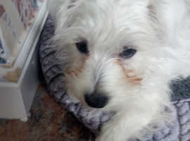 3 month old westie.girl £425.00