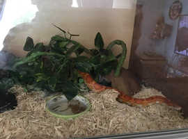 Corn snakes available