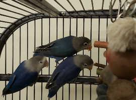 Hand reared baby lovebirds