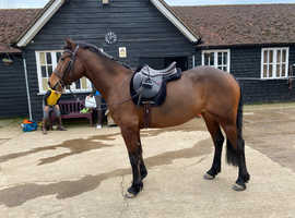 15hh uncomplicated 4yo mare
