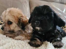 Stunning multipoo puppy's