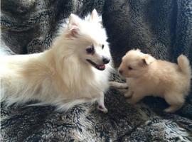 Mondo hand licking Pomeranian Puppies