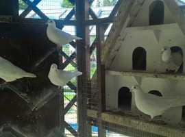 White Doves (Pure)