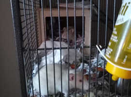 Two albino male rats.