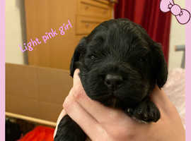 F1 cockapoo puppies ready 22nd December
