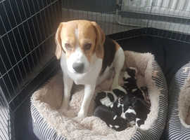 Sasse Stuart's beagle puppies