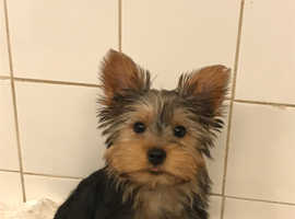 One Very Cute Little Yorkie Pup