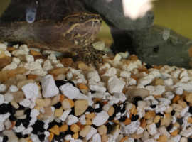 Musk turtle and tank with all accessories