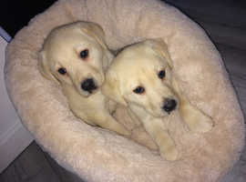 Golden and black Labrador puppy's
