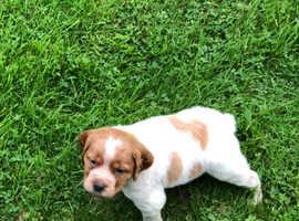 Superb pedigree Brittany puppies