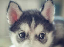 WANTED siberian husky puppy under 6 months