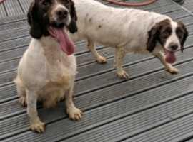 English Springer spaniel puppies pregnancy confirmed