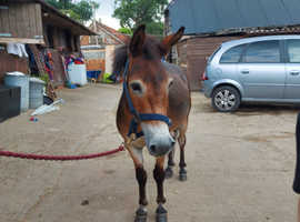 Mule for sale