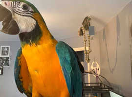 Blue & gold macaw 9 months old