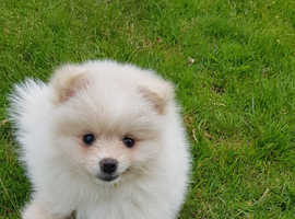 Fluffy white pomeranian puppies