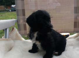 Jackapoo puppies i