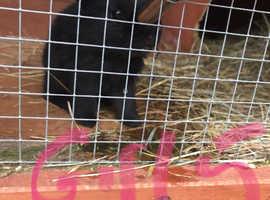 X12 Baby Angora X minilop bunnies
