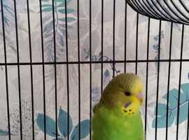 Baby budgie for sale