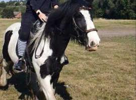 13.2hh black and white cob mare